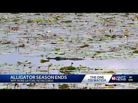More than 800 alligators harvested during Mississippi hunting season