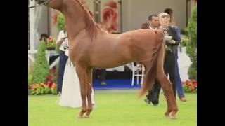 مروان ابن مروان الشقب الحصان العربي Marwan by marwan al shaqab Chantilly