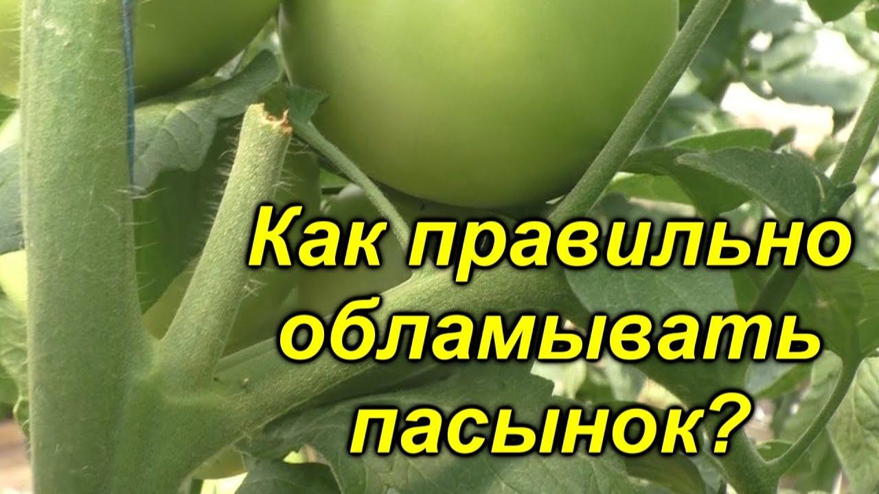 Удаление не нужных пасынков на высокорослых томатах [наглядно]