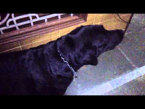 AWESOME BARKING SOUND (LABRADOR)