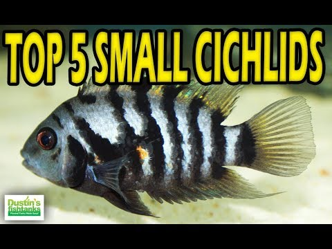 Small Cichlids! TOP 5 SMALL CICHLIDS Aquarium Fish