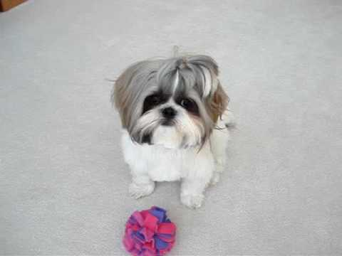 Shih Tzu Dog Laceys First Haircut Youtube