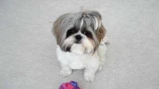 Shih Tzu Dog Lacey's First Haircut