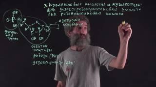 Цитология. Лекция 24. Нуклеиновые кислоты