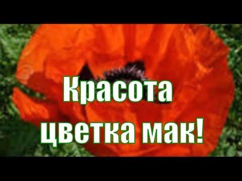 Красные маки - капли солнца на земле - это красный цветок мака