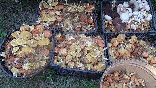 7 ведер грибов за два часа / Грибы летом / Маслята