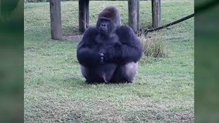 Gorilla uses sign language to communicate with zoo visitors