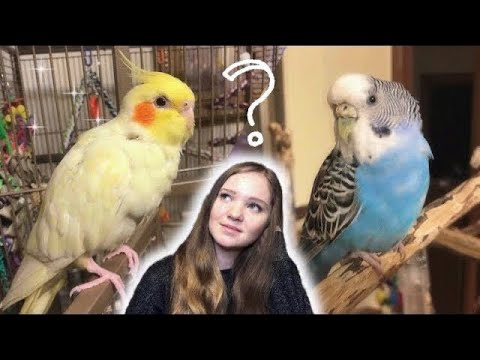 Should You Get A Budgie Or A Cockatiel?