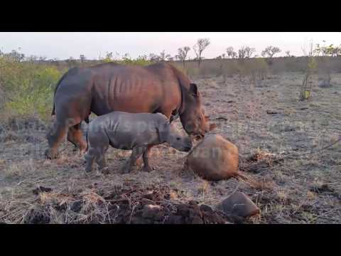 Adorable Baby Rhino's Perfect Rubbing Post