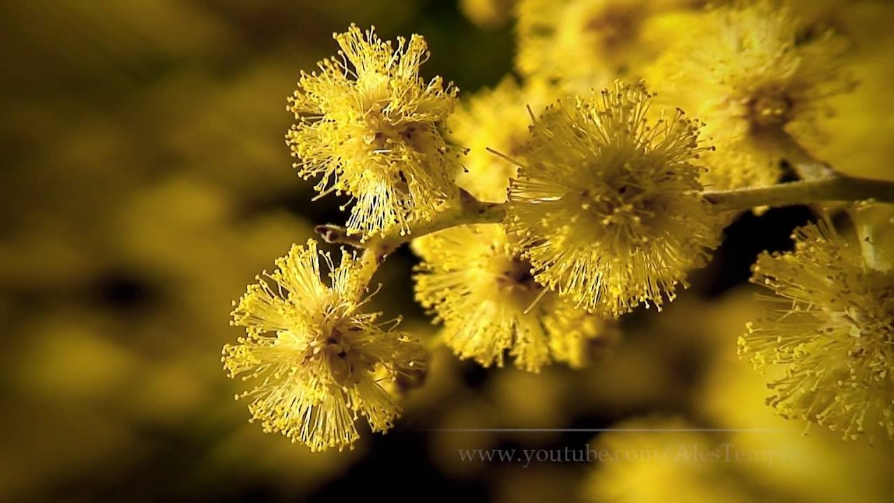 Spring Video Hd Acacia Dealbata Mimosa Youtube