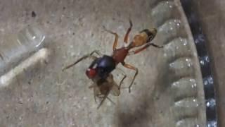 蟻に擬態したアリグモが小さい蝿(ハエ)のショウジョウバエを食べる