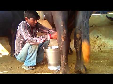 collage student parctice and laearnig dairy farming