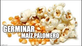 Germinar maíz palomero