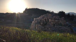 日本一周女ひとり旅269日目。福島県三春滝桜と朝日Live