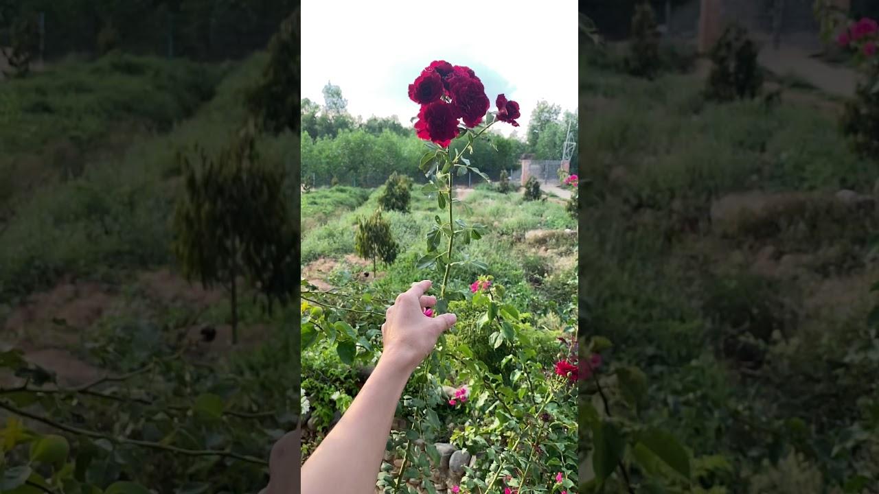 Hoa Hồng cổ Hải phòng ra bông chùm siêu đẹp. Thả hoa vào nắng.