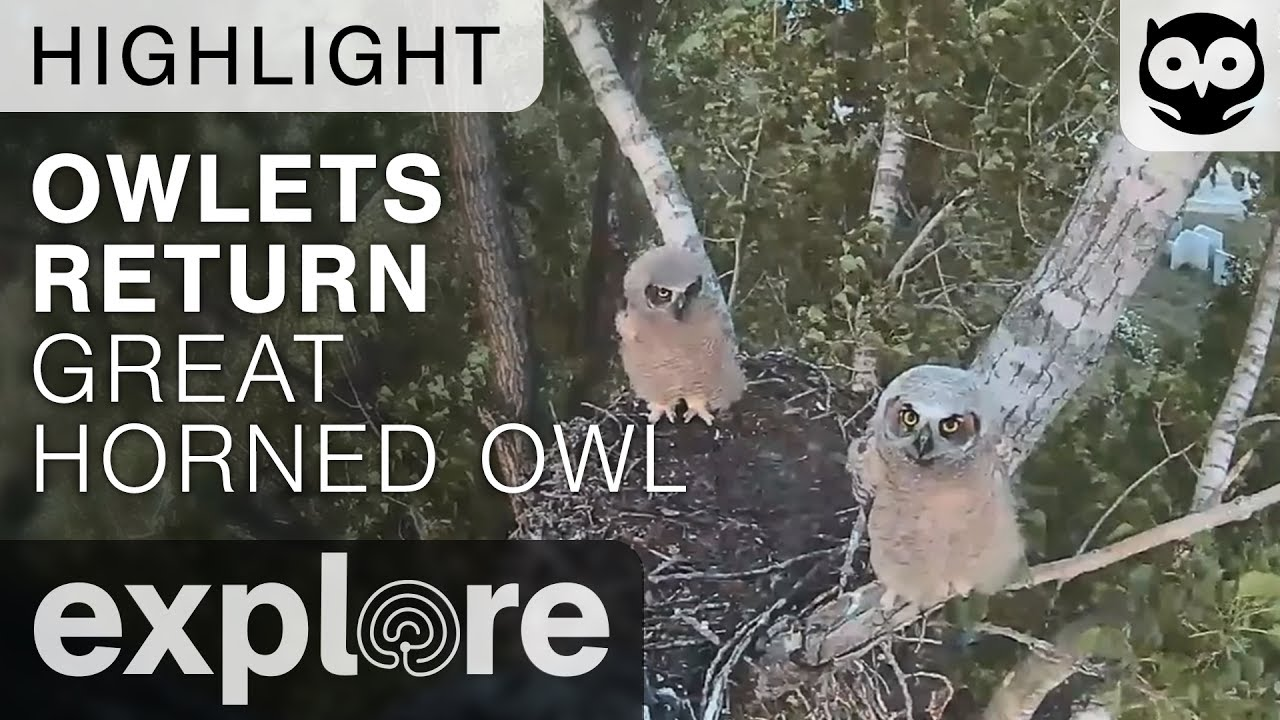 Owlets Return To Nest - Great-horned Owl - Live Cam Highlight