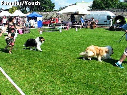 Rough Collies on National Dog Show Będzin 29.07.2017