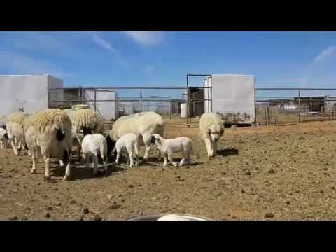 How To Buy Dorper Sheep Boer Goats At Free To Be Ranch In Mountainair New Mexico