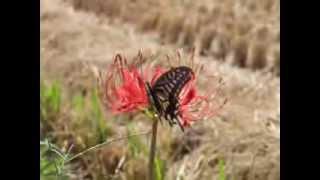 ナミアゲハ(アゲハチョウ)がヒガンバナの花にやってきたところです。 ...