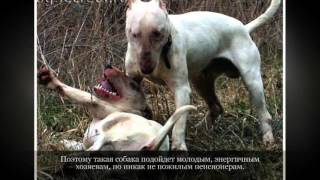 Бультерьер Средние породы собак