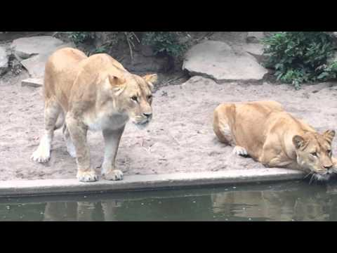 Lion hunts and eats heron at the Amsterdam Artis Zoo