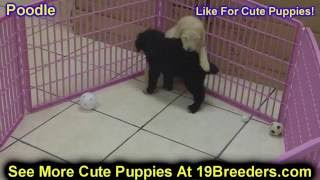 Standard Poodle, Puppies For Sale, In, Lubbock, Texas, Tx, Waco, County, Garland, Irving