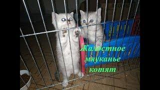 МЯУКАНЬЕ КОТЯТ СКОТТИШ СТРАЙТ 😻  ГОВОРЯЩИЕ КОТЯТА И КОТЫ 🐱 Кошка разговаривает Meowing Kitten Cat