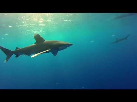Encounter with 5 Oceanic Whitetip Sharks at Elphinstone Reef - 7th Nov 2017