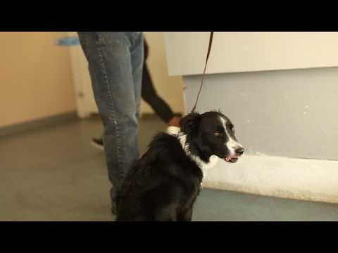 Transformations- How to Train an Aggressive Border Collie- Utah Dog Trainers