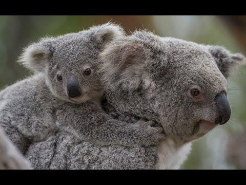 Baby koala with mom cute koala joey native australian animals youtube - Pics of baby koalas ...