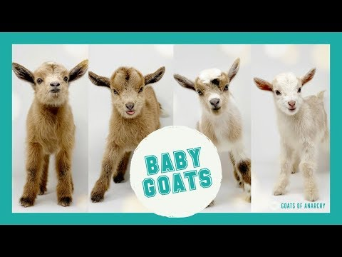 LIVE: Baby Goats!   Goats Of Anarchy