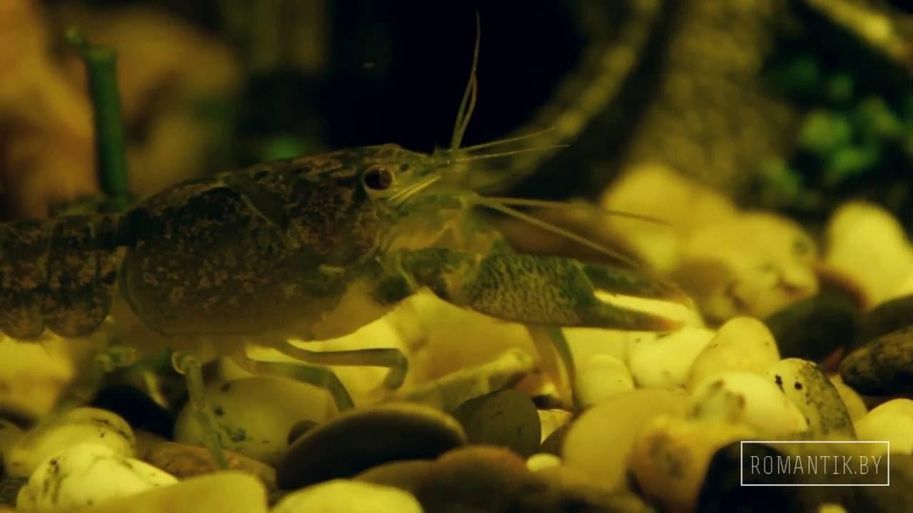 Как содержать разводить Хромисов Красавцев. Аквариумные рыбки .