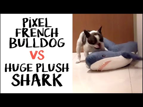 Pixel the French Bulldog vs Huge Plush Shark