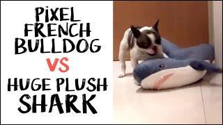 Pixel the French Bulldog vs Huge Plush Shark