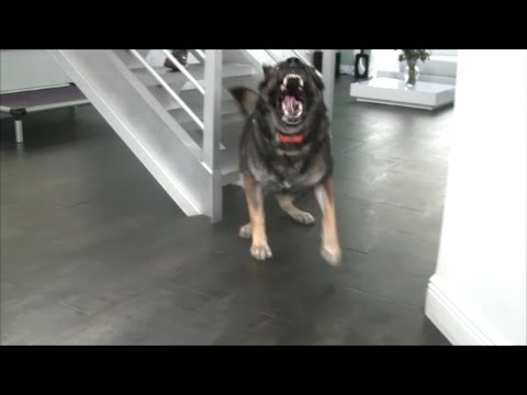 German Shepherd 'GUARDS' the staircase ON COMMAND!