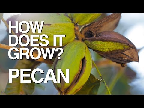 PECAN | How Does it Grow?