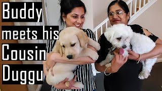 Buddy Meets his Cousin Brother another Maltese Dog named Duggu | Hindi with English Subtitles