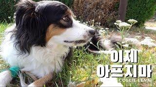 레나 이제 아프지마  보더콜리 강아지 췌장염 극복기 [4K]