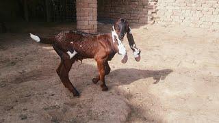 Beetal Goat Kids For Sale In T…