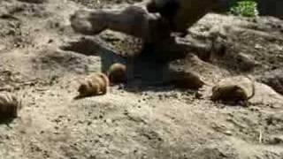 Jak szczekaja pieski preriowe