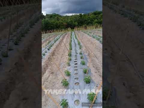 Cabe Rawit Dewata 43 F1 20 Hst Tumpang Sari Dengan Bawang Merah