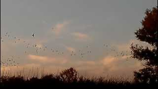 Blackbirds Flying