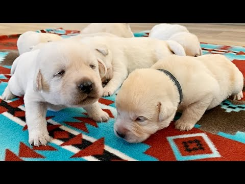 Labrador Puppies, 14 Days Old!!