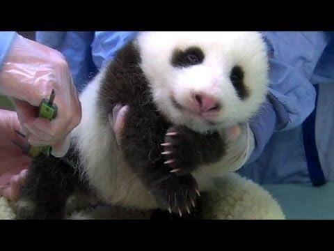 1-Week-Old Giant Panda Cub Dies at National Zoo