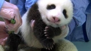 1-Week-Old Giant Panda Cub Dies at National Zoo