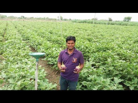 Sandip Jadhav Management of shoot and fruit borer in brinjal