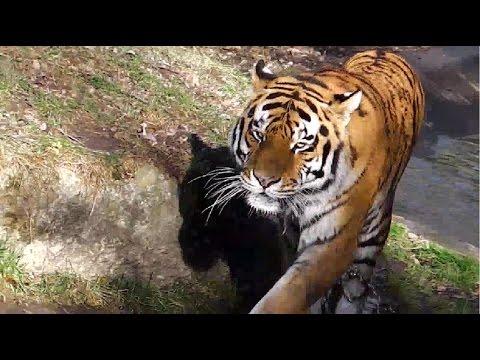 Gorillas Bagira - Nafi - Tano - Okanda / Sibirische Tiger / Eisbären / Euroäische Wölfe