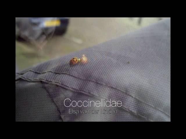 Coccinellidae - Elsa van der Linden