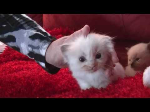 Blues, Seals, Bi-colors, Lynx  Ragdoll Kitten- November 5, 2016 - A Ragdoll To Love Cattery