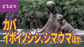 大自然の動物親子(1)カバ/ウォーターバック/ウェラバード/イボノイ...